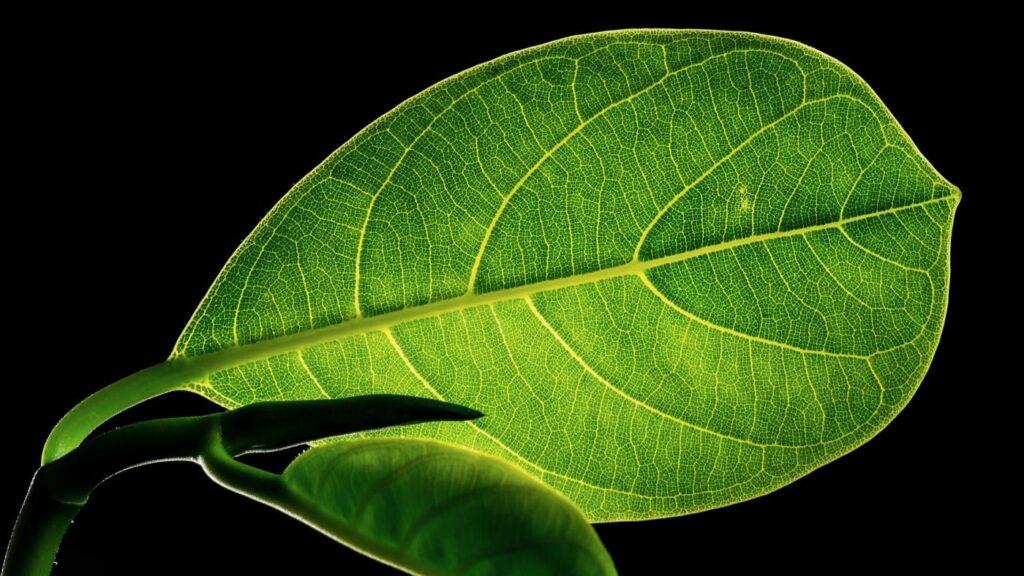 Kuvituskuva: Kuvassa on vihreä lehti.